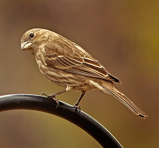Female Housefinch on feeder bar Spring 2010