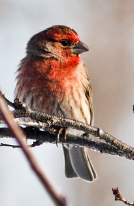 Male house finch in winter light Winter 2009
