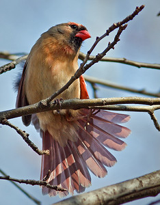 Female Cardinal with Fanned Tail Winter 2010