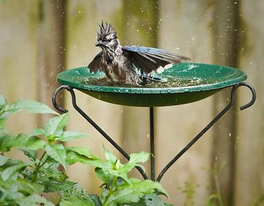 Blue Jay Birdbath 3 August 2010
