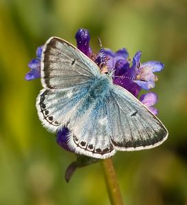 Arctic Blue, adult male