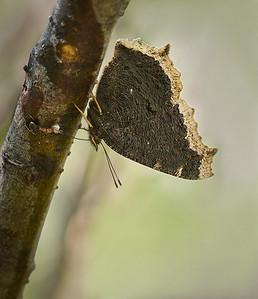 Mourning Cloak and ant dining on tree sap