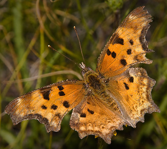Hoary Comma (Polygonia gracilis): Tuolumne Meadows