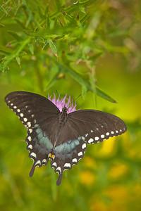 male Spicebush Swallowtail 8/21/10
