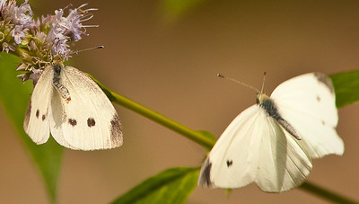 Cabbage White female in mate refusal posture