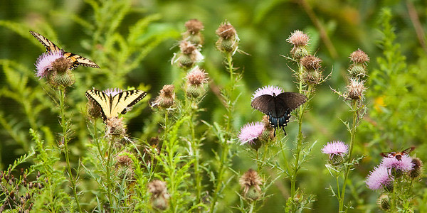 Three Tiger Swallowtails and a Snowberry Clearwing Moth on thistle 8/21/10