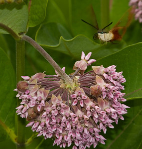 Sphinx moth at milkweed flower