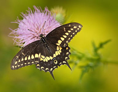 male Black Swallowtail on thistle 8/21/10