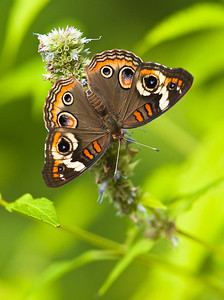 Common Buckeye dorsal view