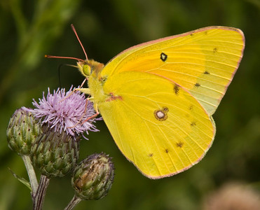 Orange Sulphur at purple thistle