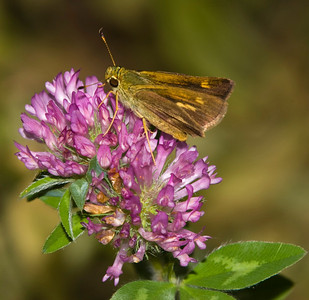 Peck's Skipper on clover flower