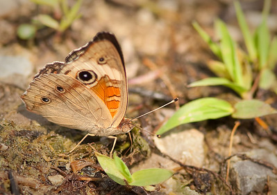 Common Buckeye ventral view