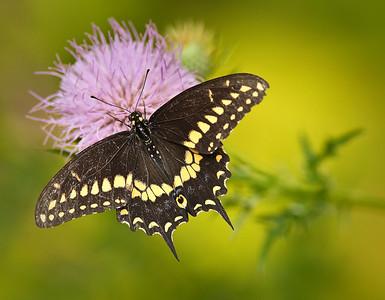 Worn Black Swallowtail on thistle flower