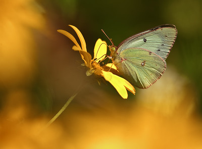 Clouded Sulphur  ventral view