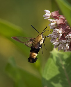 Snowberry Clearwing moth at milkwedd June, 2010