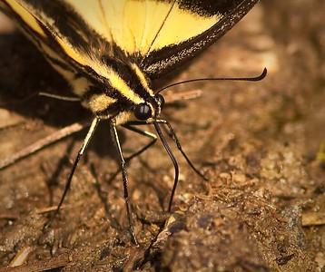 Tiger Swallowtail proboscis