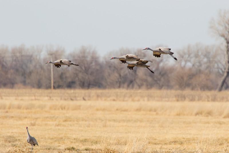Cranes-67