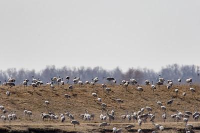 Kearney Cranes