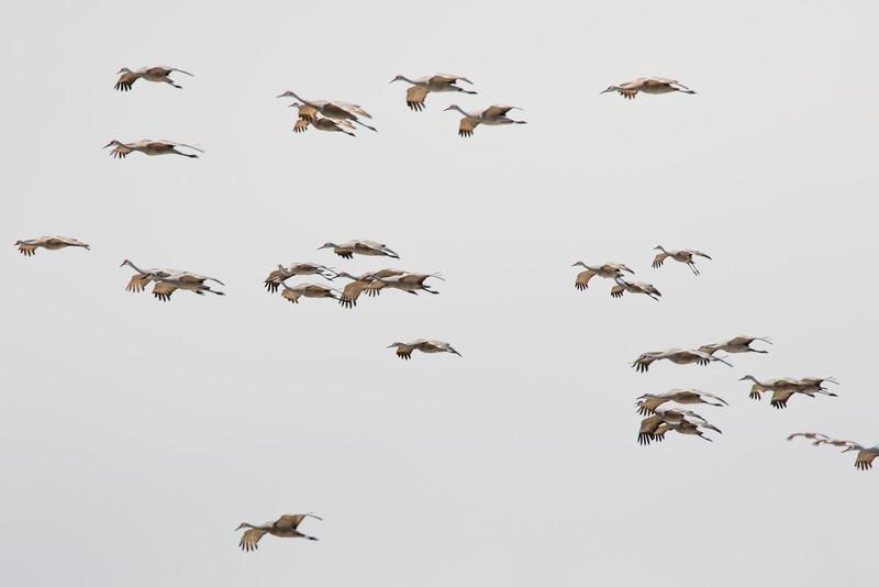 Cranes-89