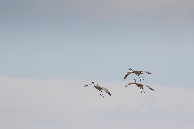 Cranes-110