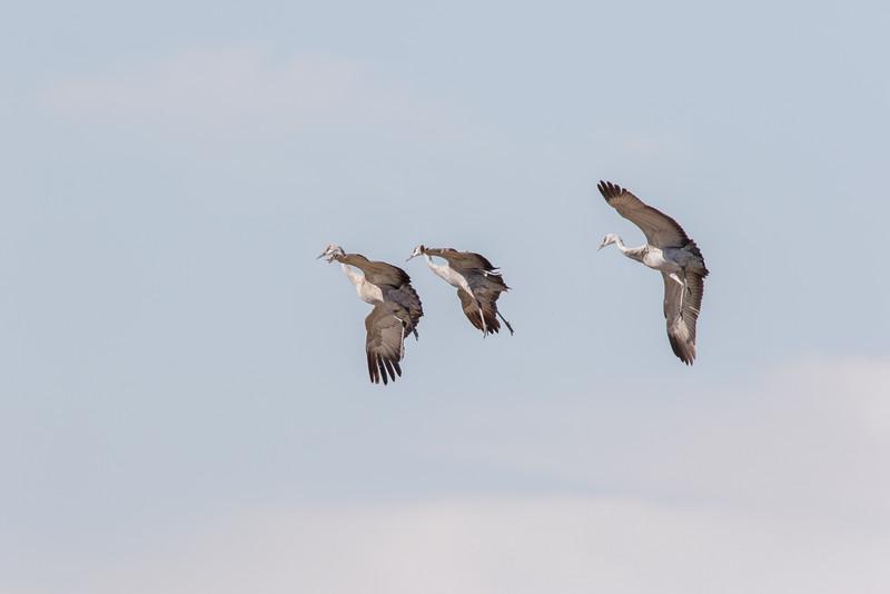 Cranes-96