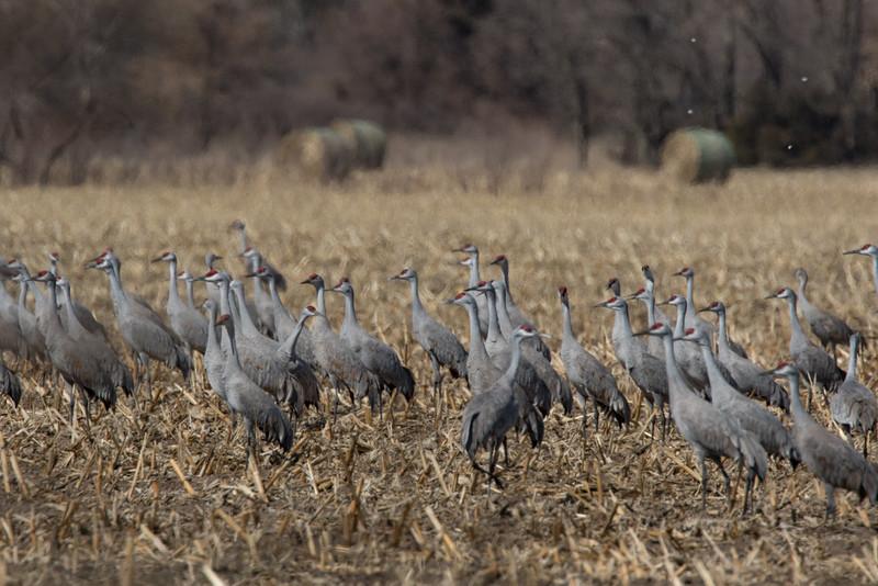 Cranes-10