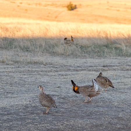 prairie chickes cranes zoo-311