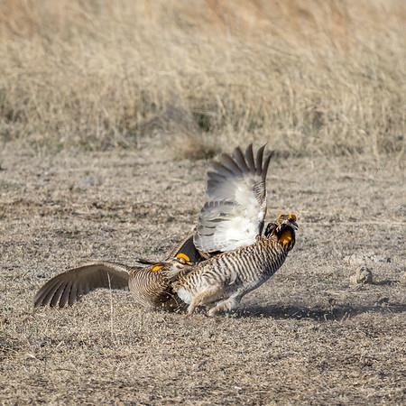 prairie chickes cranes zoo-576