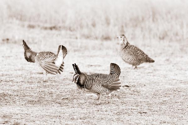 prairie chickes cranes zoo-266-2