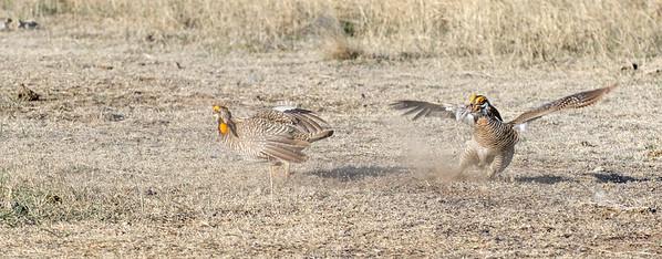prairie chickes cranes zoo-578