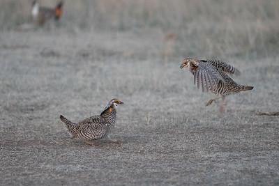 Prairie Chickens Dance