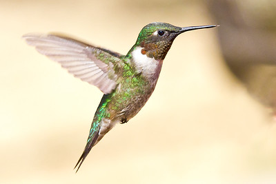 Hummingbird September 8, 2011