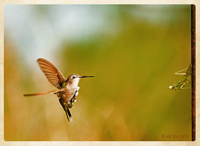 September 3, 2013 Hummingbird & Praying Mantis