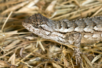 Texas Spiny Lizard October 2, 2011