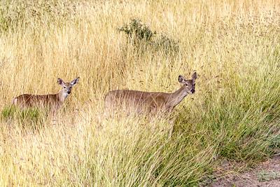 November 17, 2012  Rush Ranch Deer