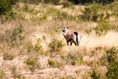 November 17, 2012  Rush Ranch  Gemsbok