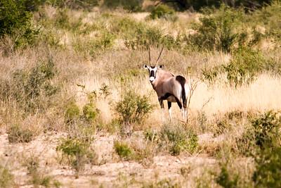 November 17, 2012  Rush Ranch  Gemsbok