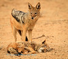 Black-backed jackal (Canis mesomelas), stands over a jackal that was killed by lion at , Kij Kij waterhole. Kgalagadi transfrontier park, South Africa