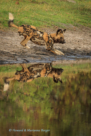 "African wild dog (Lycaon pictus), is reflected as he drinks near Nambwa camp, Caprivi strip, Namibia. Biology Note:- favourite prey are impala but also hunt duiker & steenbok, and sometimes larger animals i.e. kudu, zebra & wildebeest. The pack will return to their den & regurgitate food for pups & the dog who at that time is designated as ""baby sitter'."