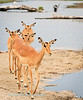 A small  herd of impala (Aepyceros melampus), cross over onto Motsipi island, Savuti National Park, Botswana,
