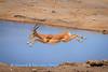 Leaping impala