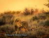 Lion  (Panthera leo), heads down the dune, Kgalagadi transfrontier park, South Africa,