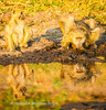 Troop ofbaboons drink at sunrise