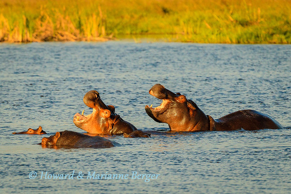 Hippopotamus (Hippopotamus amphibius) yawn in unison Caprivi strip, Mamili National Park, Namibia. Biology Note:- Adult hippos can remain submerged for 6 minutes but calves, at 2 months of age, can only manage 40 seconds.