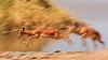 Panned slow speed image of leaping Black-faced Impala (Aepyceros melampus petersi) at  Chudop Waterhole, Etosha National Park, Namibia