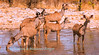 A herd of Greater Kudu (Tragelaphus s. strepsiceros) drink at Kalkheuvel waterhole,  Etosha National Park, Namibia