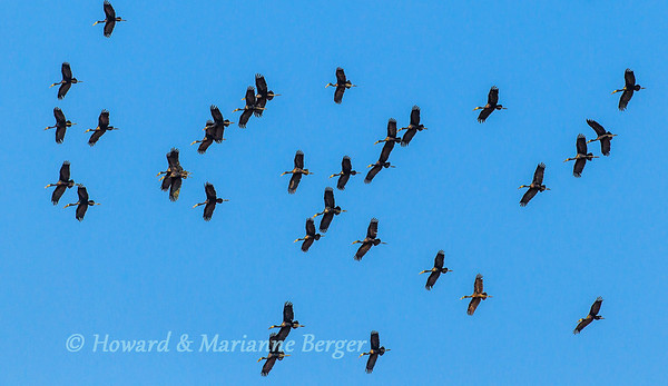 A large flock of African Openbill stork (Anastomus lamelligerus) take to the air in Mahango National Park,  Caprivi strip, Namibia. Biology Note:- The bill has a 6mm gap between the powerful upper & lower mandibles. It locates snails & mussels in the mud by probing & then pins them between the mandibles. When feeding on mussels the lower mandible is used like a knife blade to prize open the shell & scrape off the soft tissue