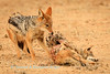 Black-backed jackal (Canis mesomelas), devours  a jackal that was killed by lion at  Kij Kij waterhole. Kgalagadi transfrontier park, South Africa