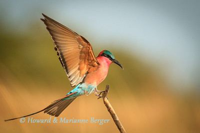 Carmine bee-eater lands on a branch at Caprivi strip, Namibia. Biology Note:- This is a highly sociable species, gathering in large flocks. This group on the Zambesi river near Kalizo lodge had many hundreds of members. They repeatedly took to the air when alarmed by hunting kites or when they tried to catch insects. Despite the many oportunities to photograph them returning to their perches it was difficult to isolate an individual amongst the flurry of feathers.