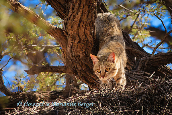 African wildcat (Felis lybica), climbs down from his nest in an Acaia tree near Kij Kij waterhole, Kgalagadi transfrontier park South Africa. Biology note:- These wildcats were apparently first domesticated in Egypt 5000 years ago.The 100 domestic cats we find today originated by gradually breeding of genetic mutations. Unfortunately this genetic similarity allows inter-breeding & true wildcats are being lost by this hybridisation.